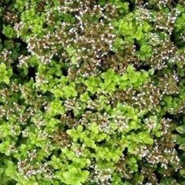origanum vulgare compactum