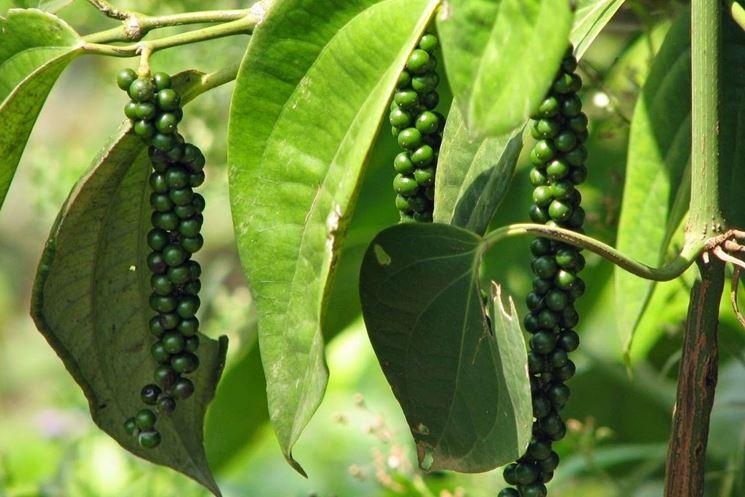 pianta del pepe verde