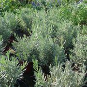 Campo di piante aromatiche