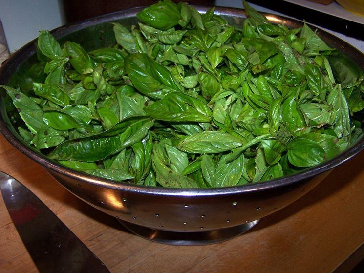 Raccolta di foglie di basilico