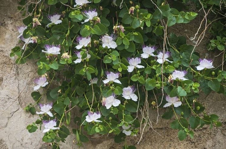 Pianta di Cappero in fiore