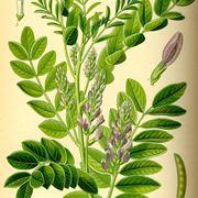 Struttura della pianta di liquirizia