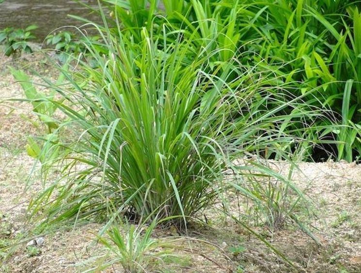 Pianta di Citronella, Cymbopogon citratus