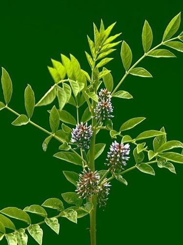 Apice della pianta di liquirizia