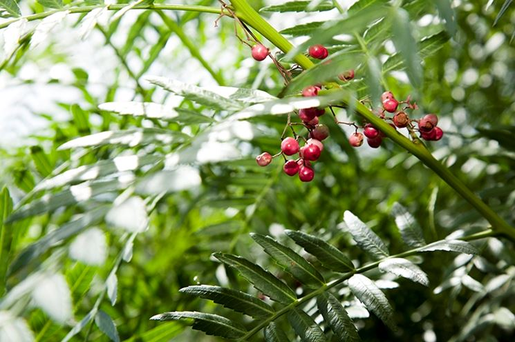 Foglie pianta pepe