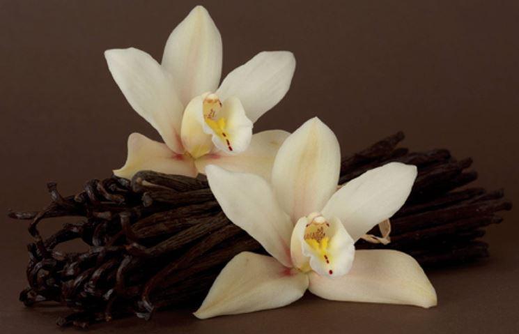 Fiori e bacche di vaniglia