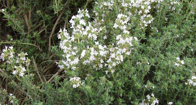 Pipernia fiori