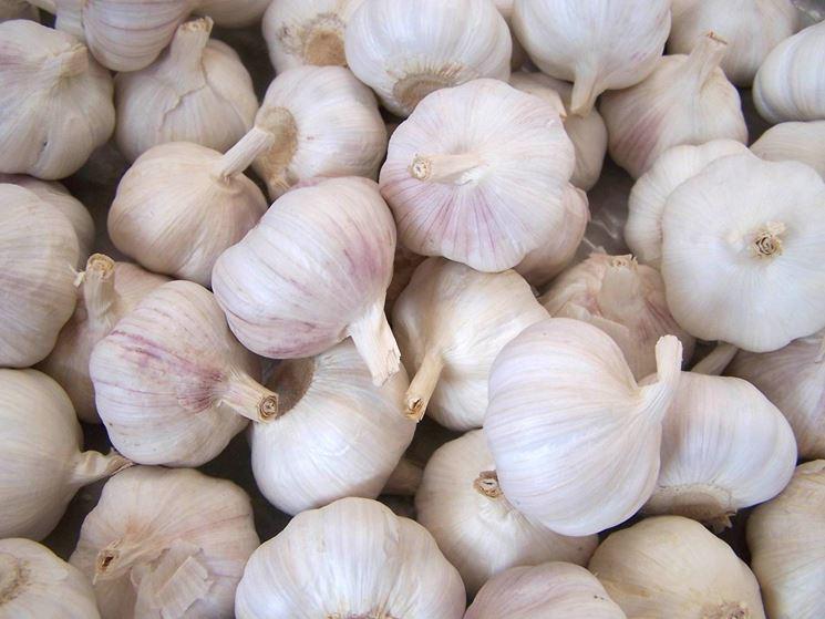 Coltivare l'aglio