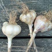 semina aglio periodo