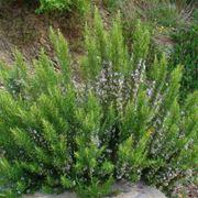 Cespuglio pianta rosmarino