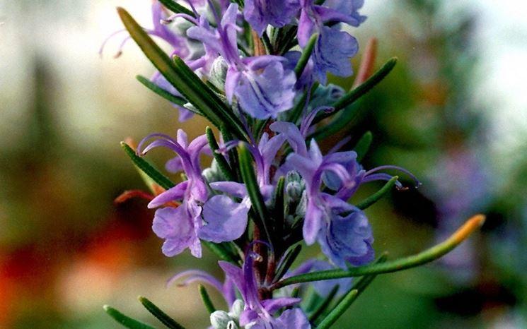 Fiori della pianta del rosmarino