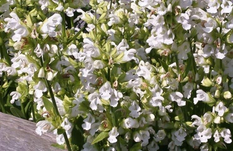 Pianta di Salvia officinalis albiflora
