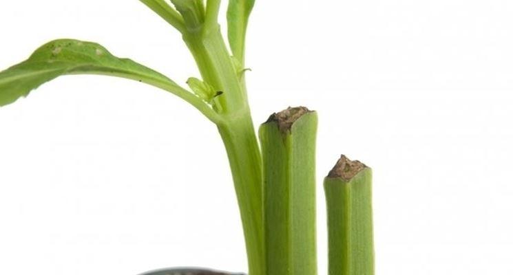 talea di salvia divinorum piantata in vaso