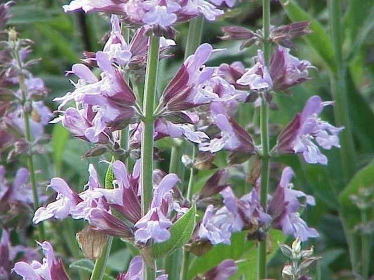 salvia officinalis fiori