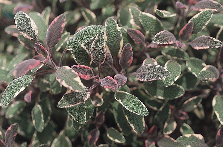 salvia variegata