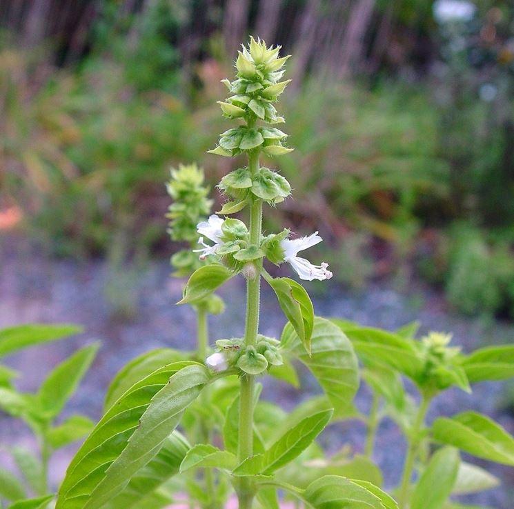 Fiori bianchi dell'Ocimum basilicum