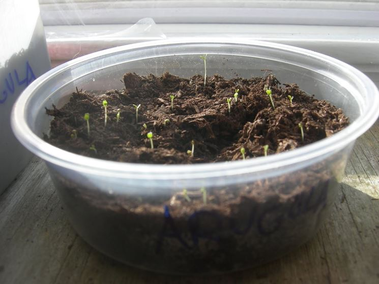 Seminare basilico aromatiche consigli per la semina for Coltivazione basilico in vaso