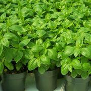 semina basilico