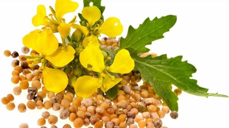 fiori e semi della senape