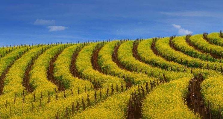 coltivazioni di senape