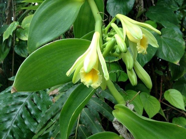 Il fiore della pianta di vaniglia