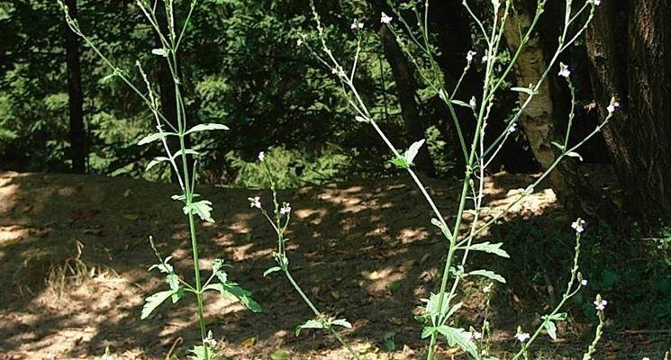 Verbena officinalis spontanea