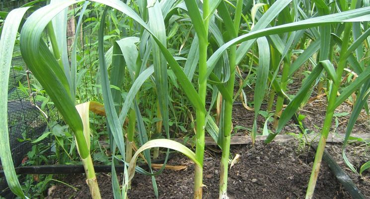 Aglio coltivazione coltivare orto come coltivare l 39 aglio for Aglio pianta