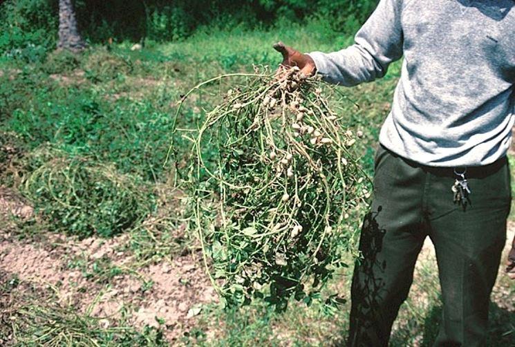 Pianta di arachidi appena sradicata dal terreno