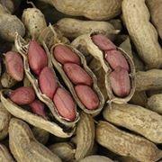 pianta delle arachidi