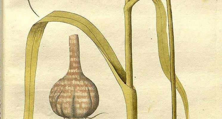 Disegno botanico di Allium Sativum