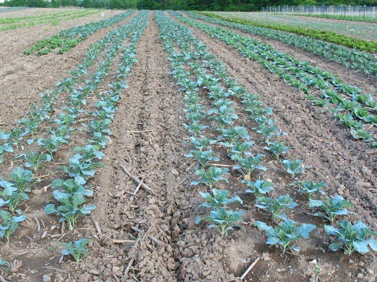 Piante di broccoli in crescita
