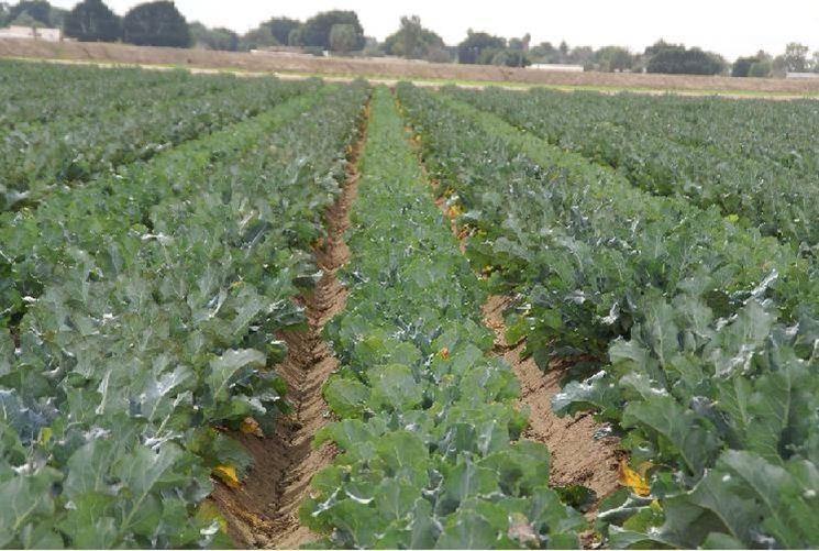 Piante di broccoli pronte per la raccolta