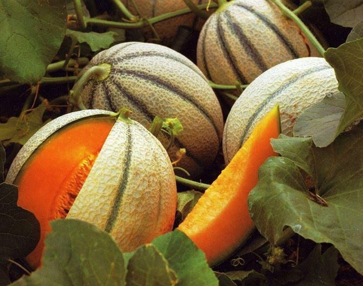 Coltivare meloni crescita