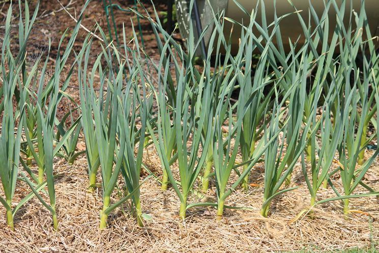 piante di aglio