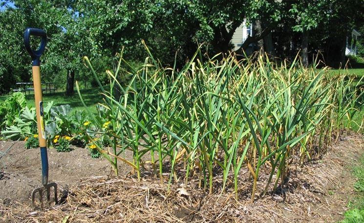 Coltivazione aglio coltivare orto come coltivare l 39 aglio - Compost casalingo ...