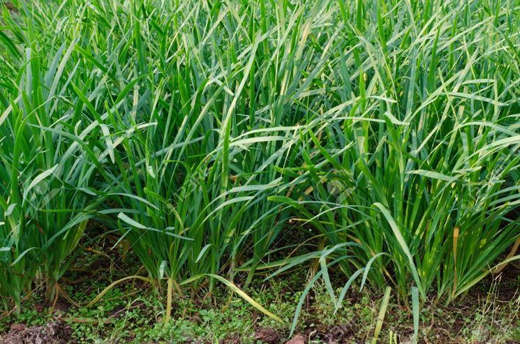 Coltivazione di aglio