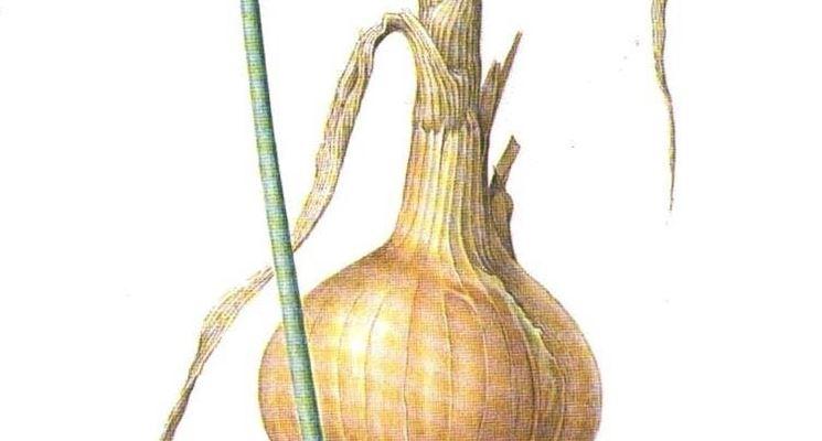 Le parti componenti la cipolla