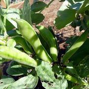 Coltivazione di fave