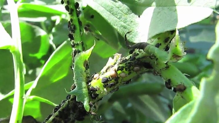 Parassiti delle fave