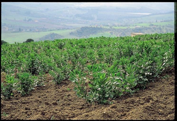 Campo coltivato a fave
