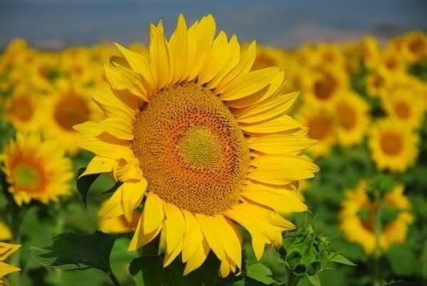 Coltivazione girasole coltivare orto come coltivare il for I fiori della balsamina