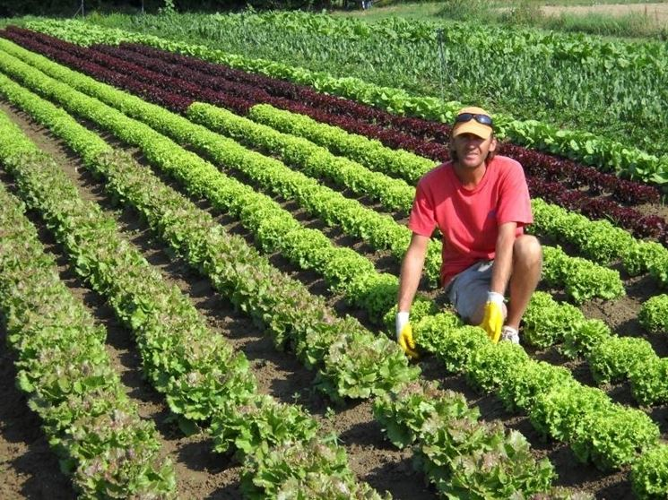 Piante Medicinali Da Coltivare : Coltivazione lattuga coltivare orto come la