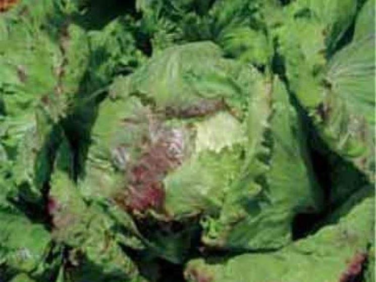 varietà di lattuga