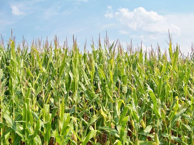 Estesa coltivazione di mais