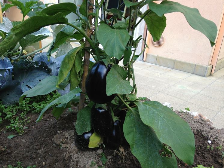 coltivazione melanzane coltivare orto come coltivare
