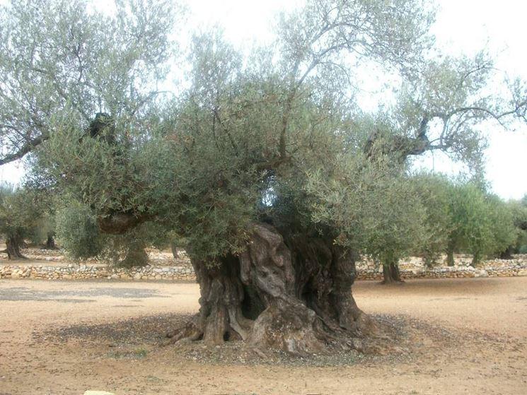Albero di olivo antico