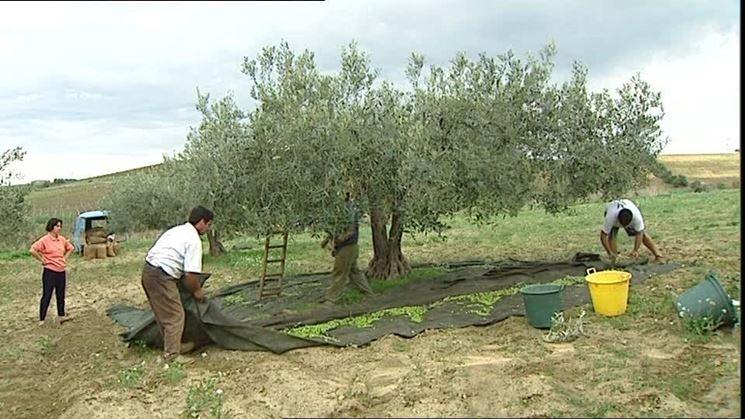 Raccolta delle olive mediante bacchiatura