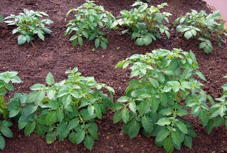 Patata pianta