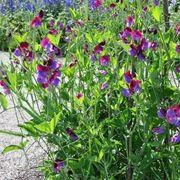 fiori di piselli