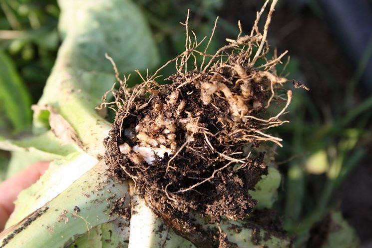 coltivazione radicchio: le radici